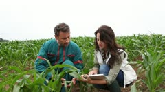 farmer and researcher analysing corn plant - stock footage