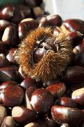 Chestnuts; One Still in Outer Shell - stock photo