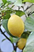 Lemons on the tree Stock Photos