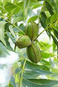 Stock Photo of Pecans Growing on the TRee