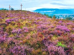 summer heather flower hill and misty morning country view behind - stock photo