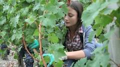 Closeup of woman in vineyard during harvest season Stock Footage