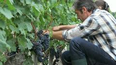 Harvesters cutting bunch of grapes in vineyard rows Stock Footage