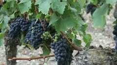 closeup of bunch of grape in vineyard - stock footage
