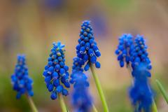 Blue hyacinth Stock Photos
