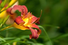 orange lily - stock photo
