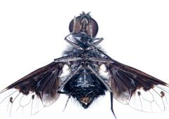 microscopic micrograph of insect tiny fly - stock photo
