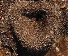 Heart of the anthill in sunny day Stock Photos