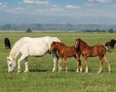 White horse and brown foals in pasture.JPG Stock Photos