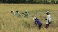 Farmer harvesting rice field in Thailand Stock Footage