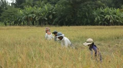Farmers harvesting rice field in Thailand Stock Footage