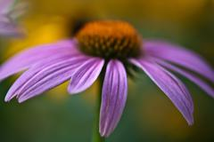 Stock Photo of purple daisy