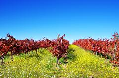 Stock Photo of autumn vineyard at portugal, alentejo region
