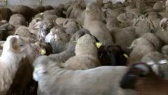 Lambs on the farm Stock Footage