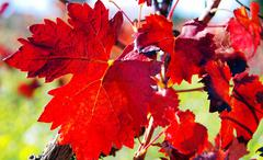 Autumn leaves in vineyard Stock Photos