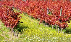 Autumn vineyard at portugal Stock Photos