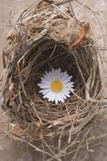 Marguerite in an Easter nest (overhead view) - stock photo