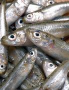 Anchovies (full-frame) - stock photo