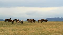 Wild horses on meadow Stock Footage