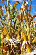 Field corn in the autumn Stock Photos