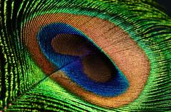 peacock feather eye - stock photo