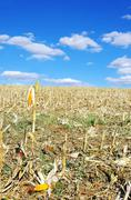 stubble with corn cobs on the ground - stock photo