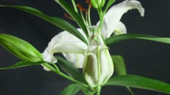 White lilies. Stock Footage