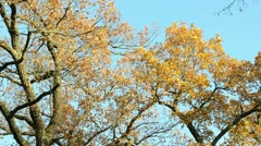 Old oak tree autumn color branch leaves move wind blue sky Stock Footage