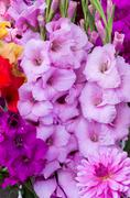 gladiolus flowers in full bloom - stock photo