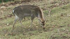 Deer feeding Stock Footage