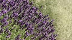 Common lavender (Lavandula angustifolia 'Hidcote Blue') Stock Footage