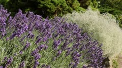 Common lavender (Lavandula angustifolia 'Hidcote Blue') and baby's breath Stock Footage