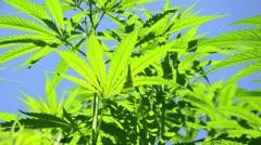 Hemp (Cannabis sativa var. sativa) Stock Footage