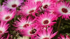 Midday flower (Dorotheanthus bellidiformis) Stock Footage