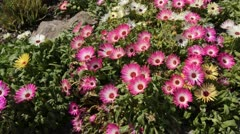Midday flower (Dorotheanthus bellidiformis) Stock Footage