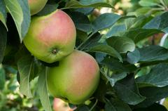 apples on tree in the orchard - stock photo
