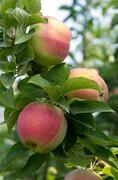 ripe fresh apples on the tree - stock photo