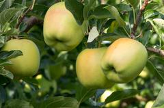 four apples on the tree in the orchard - stock photo