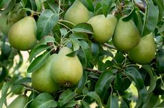 ripe bartlett pears on the tree - stock photo