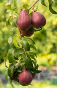 red pears hanging on the tree - stock photo