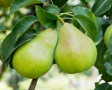 Stock Photo of bartlett pears hanging on the tree