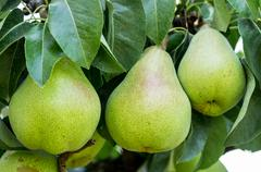 Stock Photo of three bartlett pears on the tree
