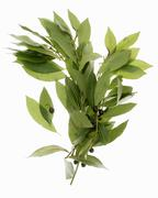Stock Photo of Branches of bay leaves