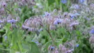 Stock Video Footage of Borage (Borago officinalis) and bee (Apis)