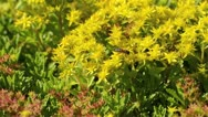 Stock Video Footage of Stonecrop (Sedum hybridum 'Immergruenchen') and bee (Apis)