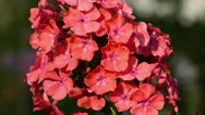 Stock Video Footage of Garden phlox (Phlox paniculata)