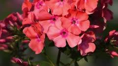 Garden phlox (Phlox paniculata) Stock Footage