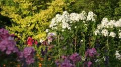 Garden phlox (Phlox paniculata 'Schneeferner') Stock Footage