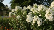Stock Video Footage of Garden phlox (Phlox paniculata 'Schneeferner')