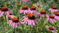 Purple cone flower (Echinacea purpurea 'Magnus') and bumble bees (Bombus) Stock Footage